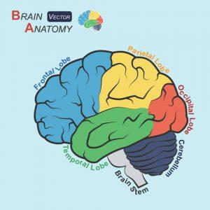Brain Anatomy- Dementia
